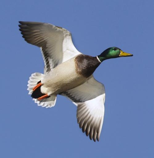 Arkansas Duck Hunting - TraditionsOutdoor